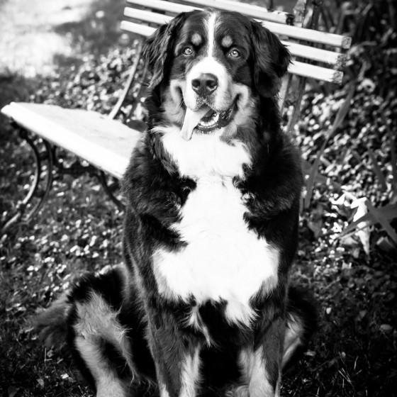 photographie portrait animaux chiens